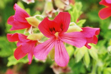 Pelargonium 3.jpg