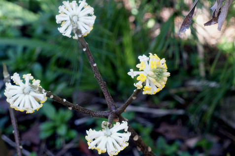 Edgeworthia chrysantha 2.jpg