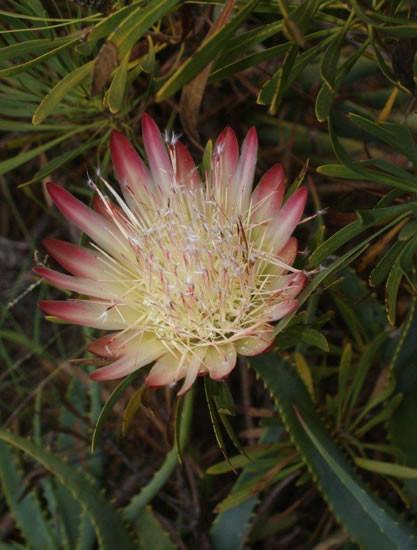 Protea repens 2.jpg