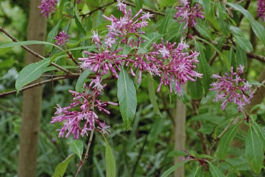 Fuchsia paniculata 4.jpg