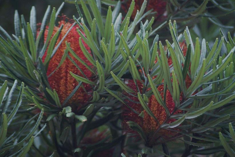 Banksia seminuda 3.jpg