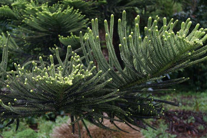 Araucaria heterophylla 1.jpg