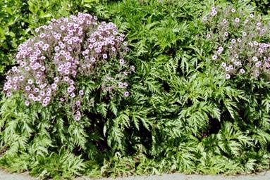 Geranium maderense 4.jpg