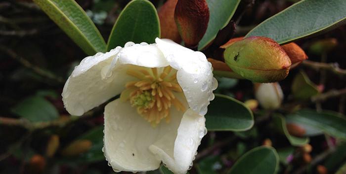 Magnolia laevifolia 3.jpg