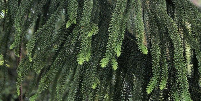Araucaria heterophylla 3.jpg