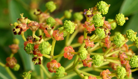 Euphorbia mellifera 4.jpg