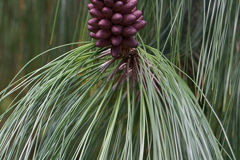 Pinus apulcensis 4.jpg