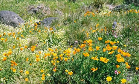 Eschscholzia californica 3.jpg