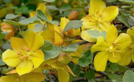 Fremontodendron californicum 1.jpg