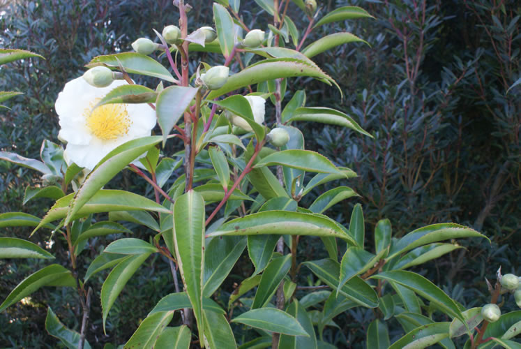 Gordonia longicarpa 4.jpg