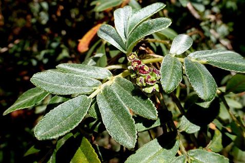 Polylepis spp. 1.jpg