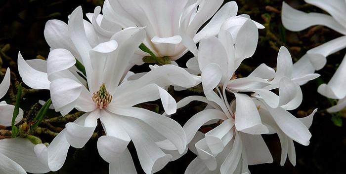 Magnolia stellata 2.jpg