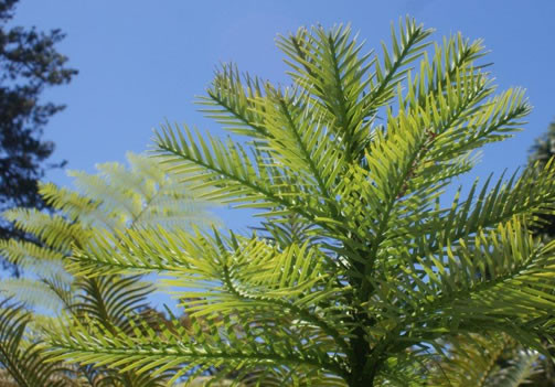 Wollemia nobilis 1.jpg