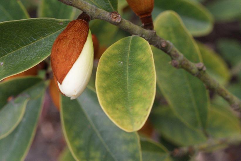 Magnolia_laevifolia'Strybing_Compact'_2