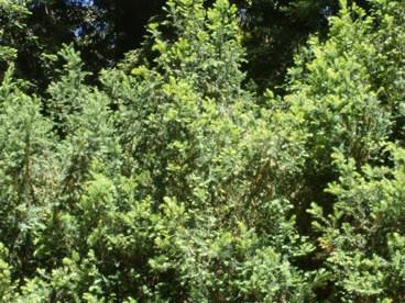 Taxus baccata 3.jpg