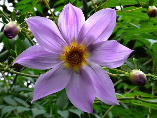 Dahlia spp. 1.jpg