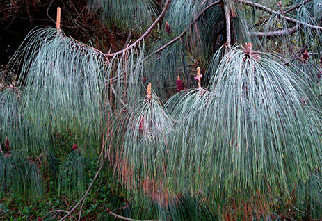 Pinus apulcensis 1.jpg