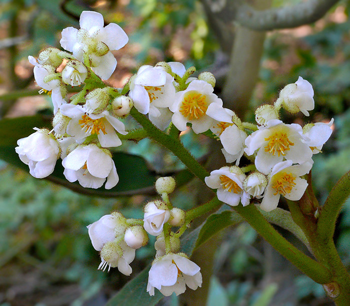 Saurauia madrensis 4.jpg