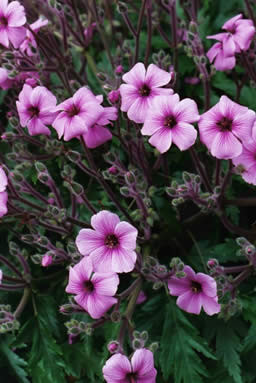 Geranium maderense 2.jpg
