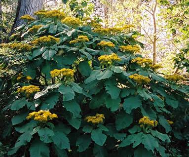 Telanthophora grandifolia 5.jpg