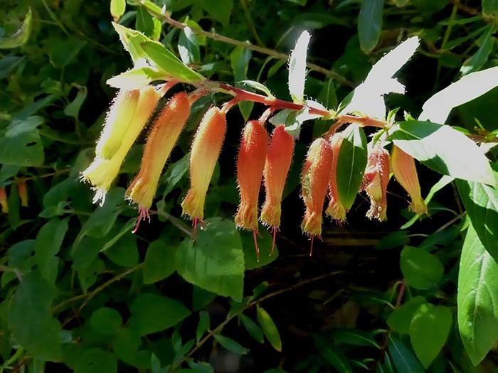 Cuphea spp. 3.jpg