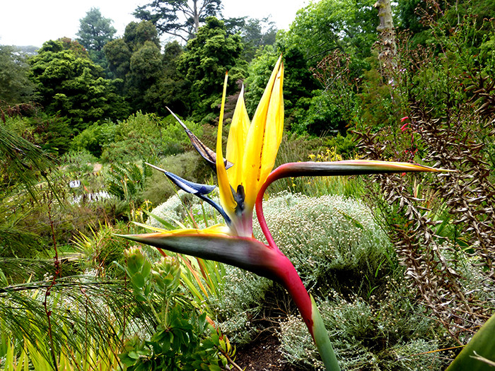 Strelitzia reginae 2.jpg