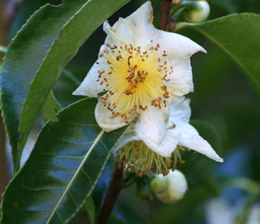 Camellia sinensis 2.jpg