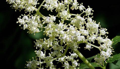 Sambucus racemosa 4.jpg