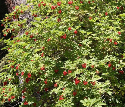 Sambucus racemosa 3.jpg