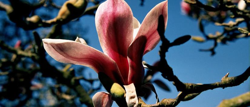 Magnolia x soulangeana 3.jpg