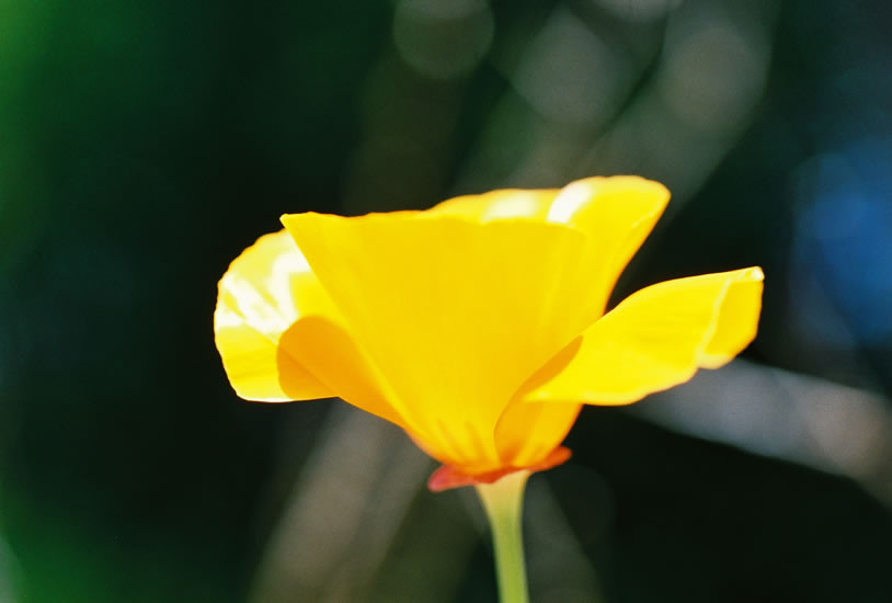Eschscholzia californica 2.jpg