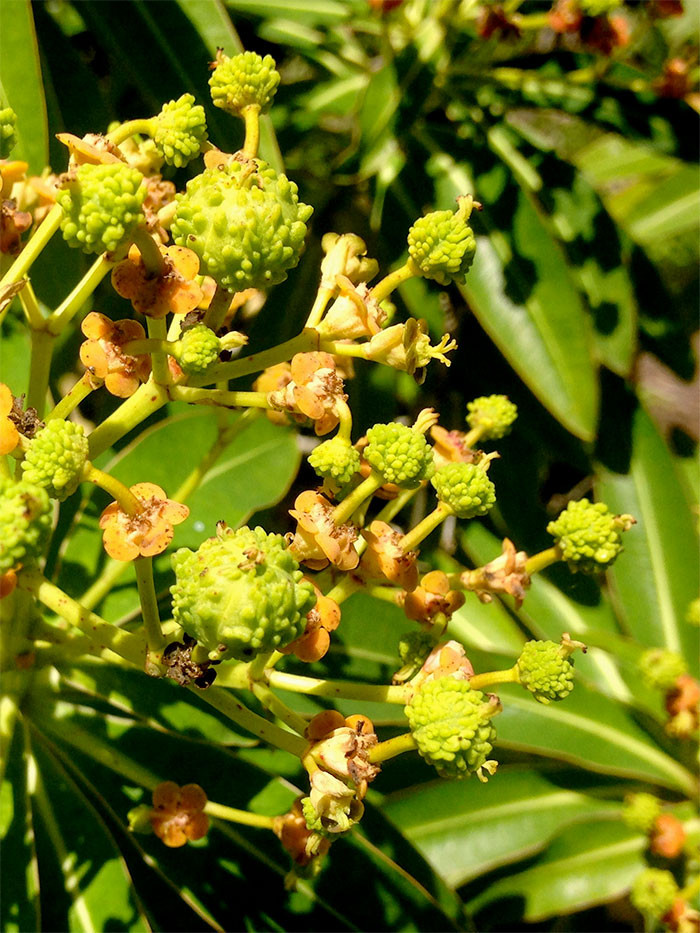 Euphorbia mellifera 3.jpg