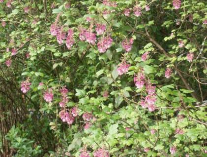 Ribes spp. 4.jpg