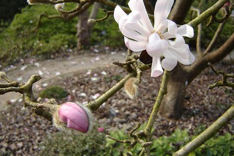 Magnolia stellata 4.jpg