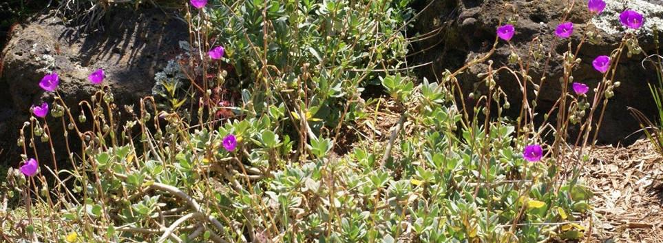 Calandrinia grandiflora 4.jpg