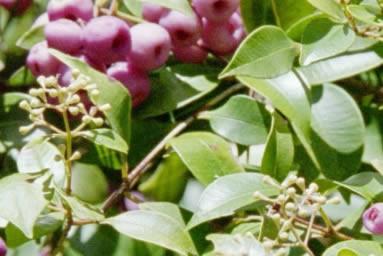 Syzygium smithii 1.jpg