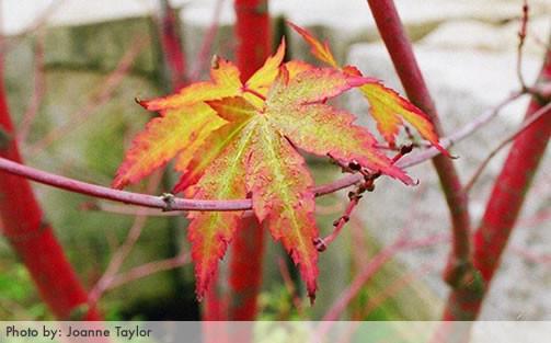 Acer palmatum 1.jpg