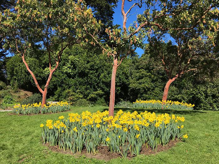 Narcissus spp. 4.jpg