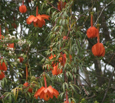 Passiflora parritae 3.jpg