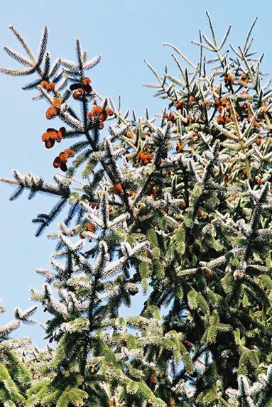 Picea sitchensis 3.jpg