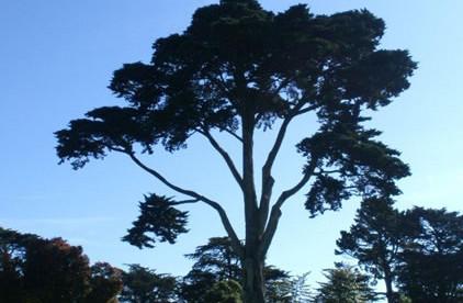 Cupressus macrocarpa 1.jpg