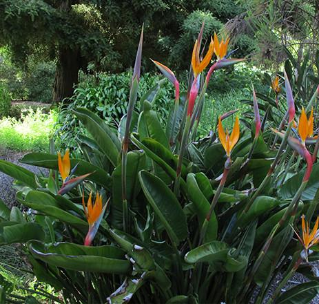 Strelitzia reginae 1.jpg