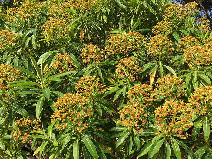 Euphorbia mellifera 2.jpg