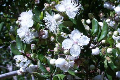 Luma apiculata 3.jpg