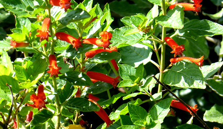 Cuphea spp. 4.jpg