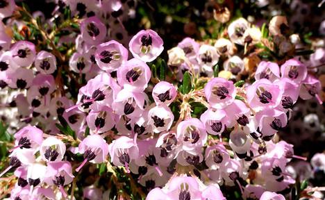 Erica spp. 1.jpg