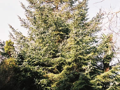 Picea sitchensis 4.jpg