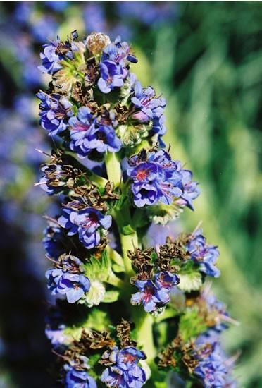 Echium spp. 1.jpg