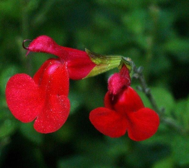 Salvia microphylla 2.jpg