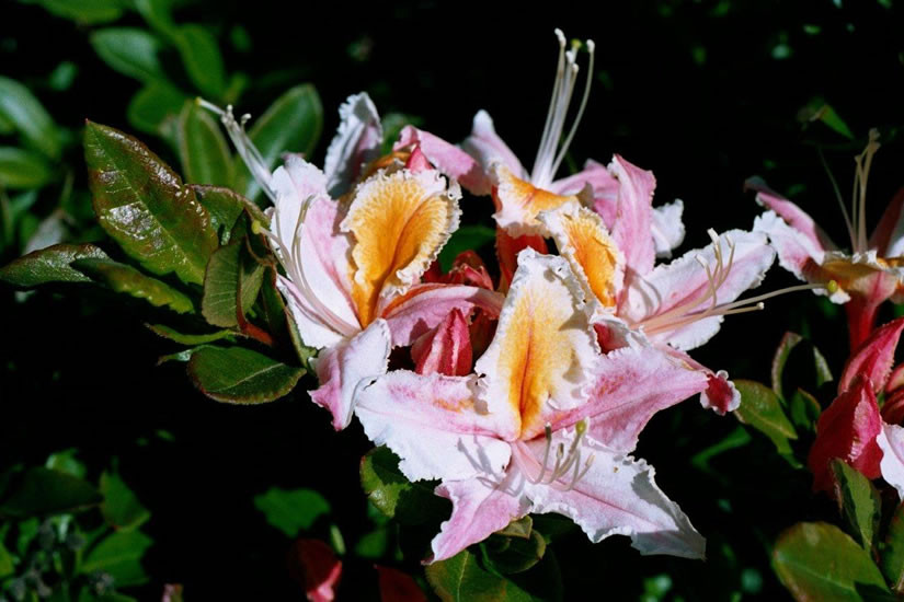 Rhododendron occidentale 3.jpg
